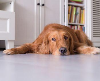 部屋の床の上で寝そべる大型犬