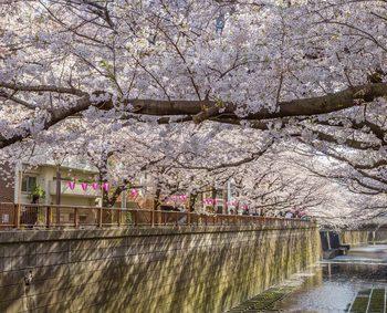 桜が咲く川沿いに何軒かの家が建っている