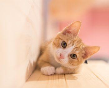 室内飼いされている猫
