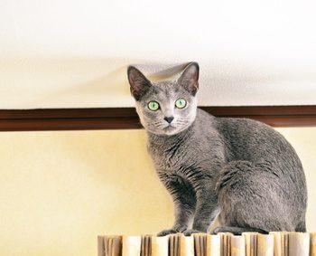 灰色の猫がカーテンレールに登ってこちらを見ている
