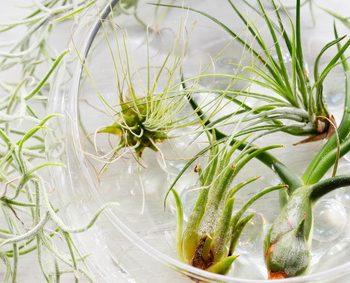チランジア 育て方 エアープランツ 観葉植物