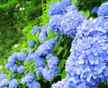 青色のあじさい 紫陽花 鉢植え